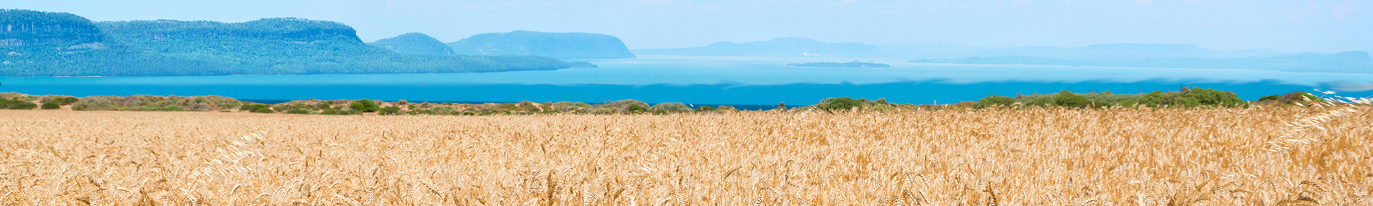 Wheat field with an Ontario great lake in the background